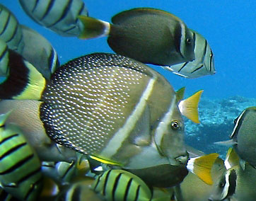 Surgeonfish for Types of fish in hawaii