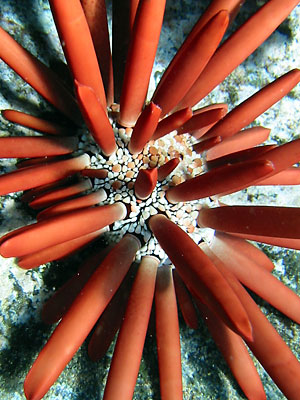 A large red fingered slate pencil urchin (ina ula) on the rocks.