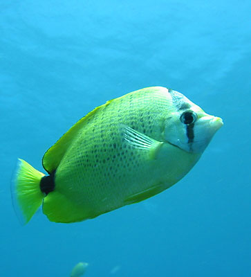 A milletseed butterfly fish swims by the surface.