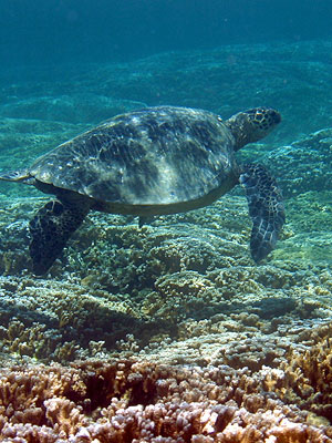An Underwater Photograph Of Endangered Hawaiian Green Sea Turtle